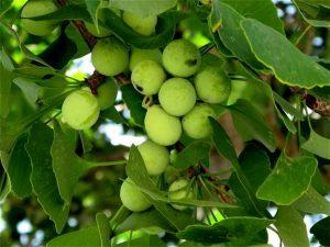 Hình ảnh về cây bạch quả